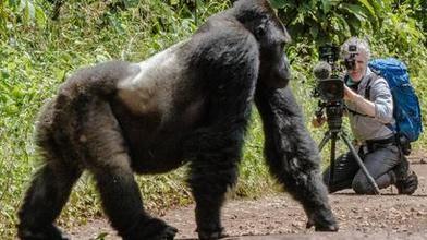 DEUTSCHLANDPREMIERE: Unter Gorillas - Überleben in der Horde (Ab 9. DEZ)