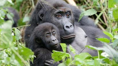 DEUTSCHLANDPREMIERE: Unter Gorillas - Überleben in der Horde
